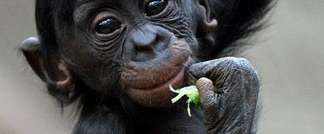 Bonobo baby Kasai climbs in the Zoo in Leipzig, Germany, on November 27, 2013 ( AFP )