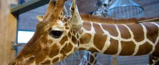 Picture taken on Febuary 7, 2014 shows a healthy young giraffe named Marius who was shot dead and autopsied in the presence of visitors to Copenhagen zoo on Febuary 9, 2014 despite an online petition to save it signed by thousands of animal lovers ( Keld Navntoft (Scanpix Denmark/AFP) )
